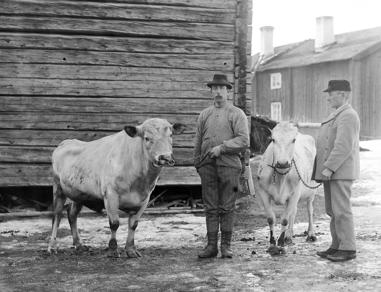 Jonas ko o tjur 1901