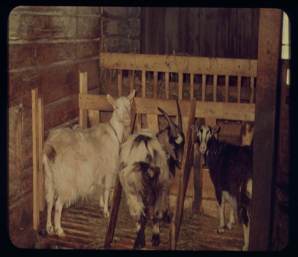 getstall i hästspiltan 1965