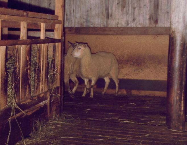 fåren på spaltgolv runt om hötorken 1968