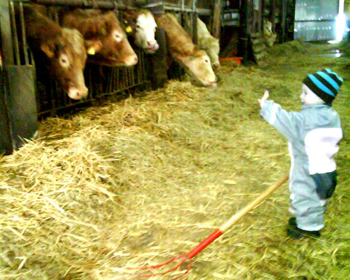 Kor i fårhuset